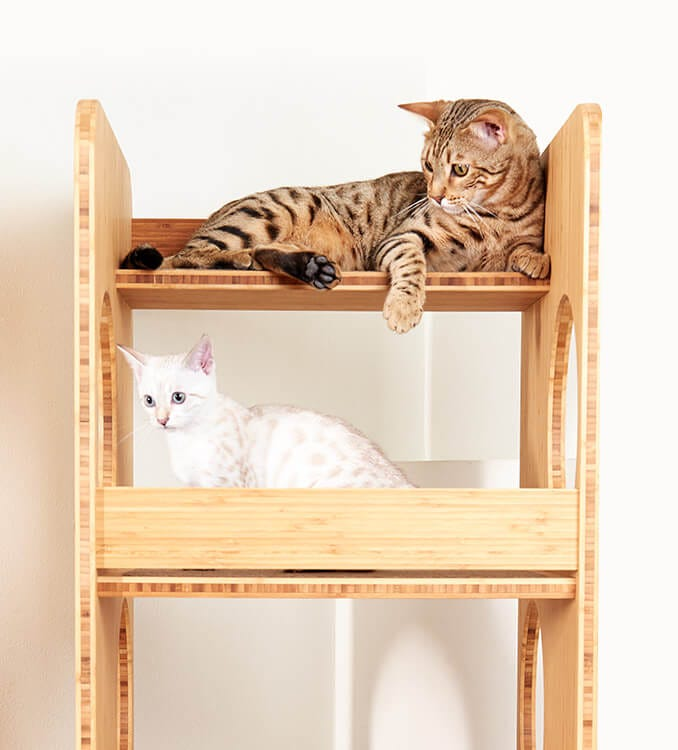 Two bengal kittens on a cat tree